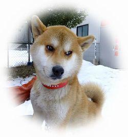 柴犬mixごうくん1