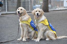 社会福祉法人 日本介助犬協会さんの犬たちは、黄色と青のケープが目印(例外もあります。)。