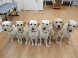 協会で訓練中の介助犬候補犬たち。「ボク・ワタシたち楽しく訓練中です♪」候補犬から、介助犬として活躍するのは、10頭中3~4割とな