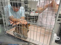 公園で行き倒れていた猫の「わたるくん」。治療のために長く入院をしましたが今はすっかり元気になって預かり宅で他の猫さんたちと仲良く過ごしています。今回の寄付はこのような治療に使われました。